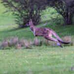 Australian region fauna