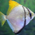 Moony fish (Monodactylus argenteus)