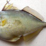 Triggerfish (Abalistes stellatus)