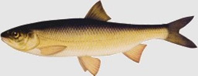 Caspian white fish (Caspian Kutum)